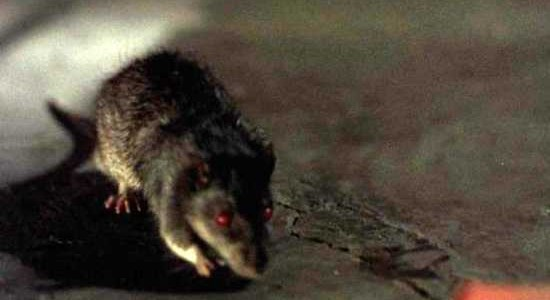 W.K House Clearance:- Zombie Rats That Can Chew Through Steel And Other Rat Facts You Should Know